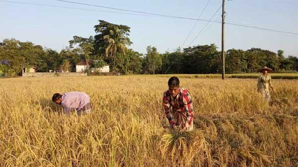 ধান আছে, মান নেই : সুনামগঞ্জের কৃষককূলে শঙ্কা