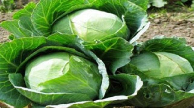 সম্ভাবনাময় কৃষি, সিঙ্গাপুর-মালয়েশিয়ায় বাঁধাকপি রপ্তানি হচ্ছে